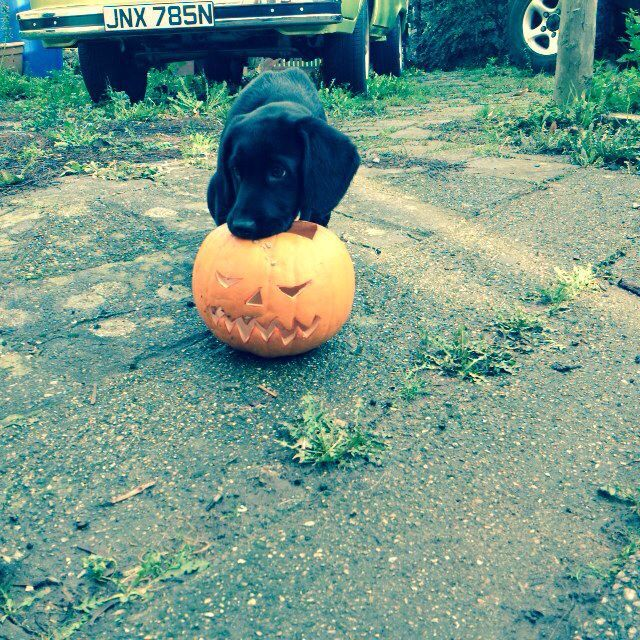 Halloween Harvey! Springador puppy