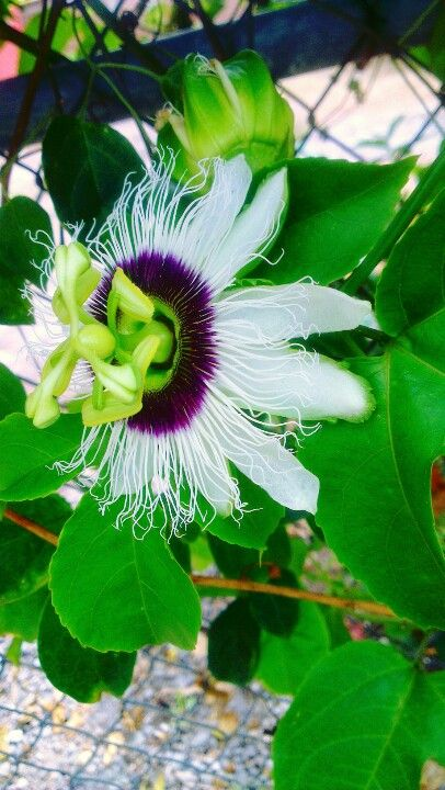 Exotic Flower. Passion flower.