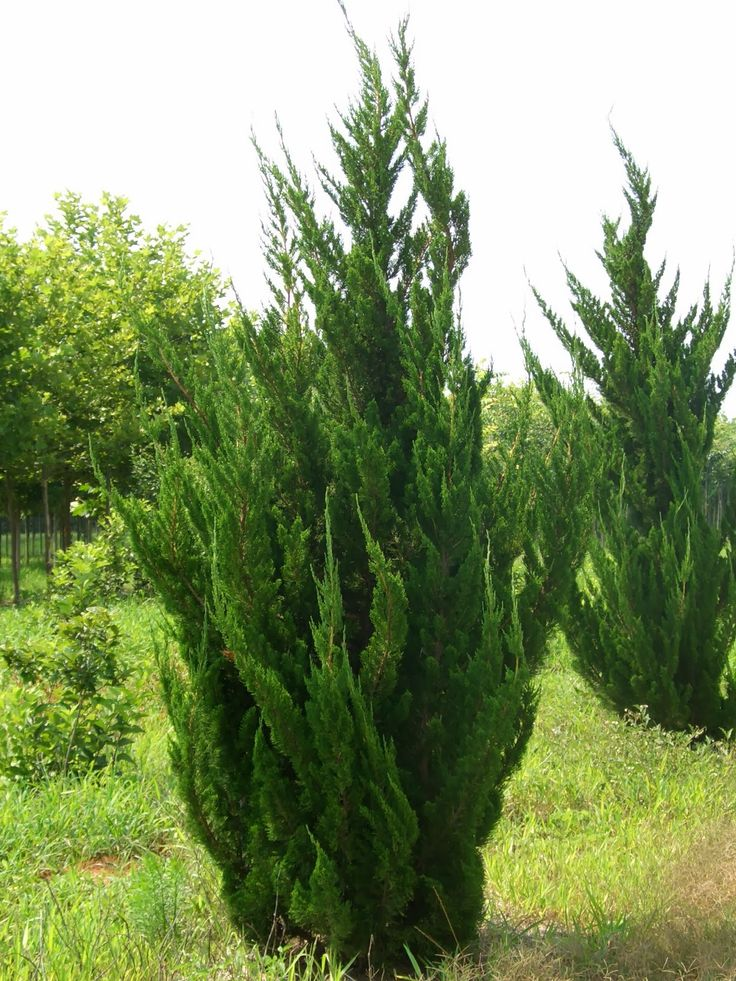 21 best tall and slender evergreen trees images on for Tall evergreen shrubs