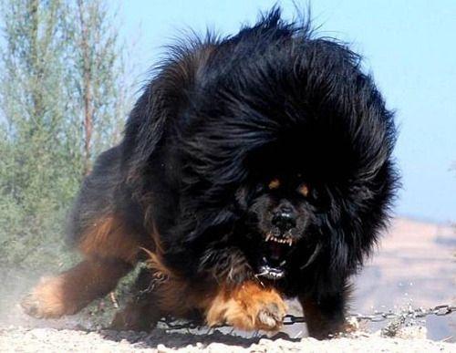 Would you dare to come near thus Tibetansk Mastiff? by...