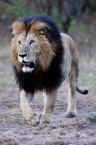 404 Not Found Animals Beautiful Animals Wild Male Lion