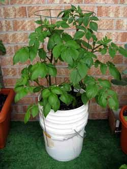 Growing potatoes in a self-watering 5 gallon bucket. Maybe try with storage tubs instead to get a higher yield.