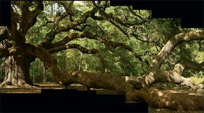 "THE ""Angel Oak""  Johns Island, South Carolina    ""Who is the observer and who is the observed. While we watch trees, do they gaze back at us?""Virginiana, Angels Oak, American Forests, Captions Adaptations, Living Oak, Helpful Wonder, Druidic Speculation, John Islands, James Balog"