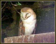 Tyto alba [incl. javanica, detorta, excl. delicatula] - Avibase