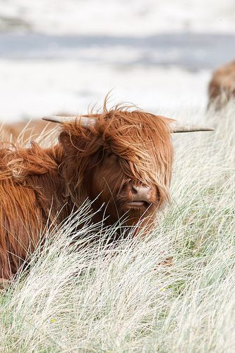 Super hip cattle in the Highlands of Scotland /