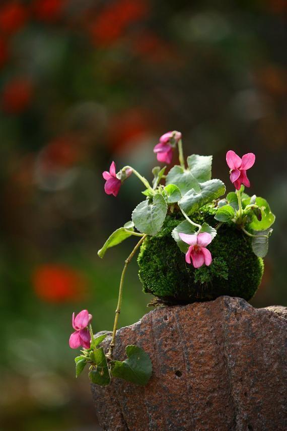 スイートバイオレットの苔玉などの画像 | チョコレート盆々