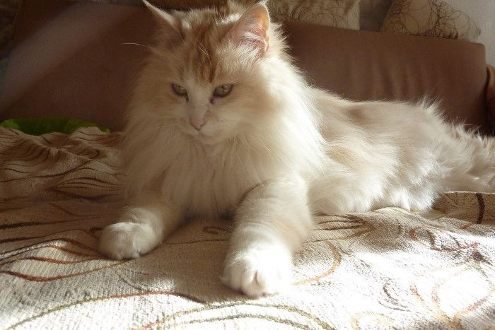 ba6b3d2953 Turkish Angora Kittens for Sale   Cats for Adoption