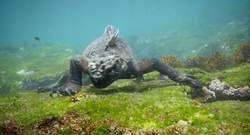 Enorme zeeleguaan 'Godzilla' gespot bij Galapagoseilanden - AD.nl