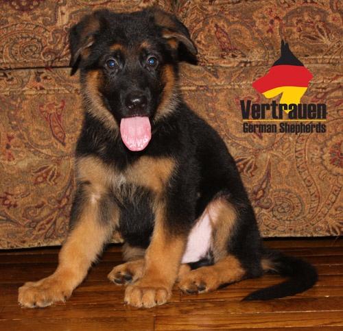 Vertrauen German Shepherds