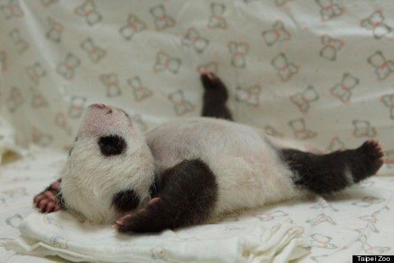 赤ちゃんパンダ、お母さんに初めて会う【画像・動画】                                                                                                                                                                                 もっと見る
