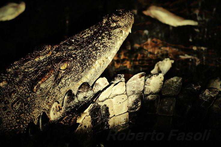 Cambodia - Tonle Sap - Coccodrillo