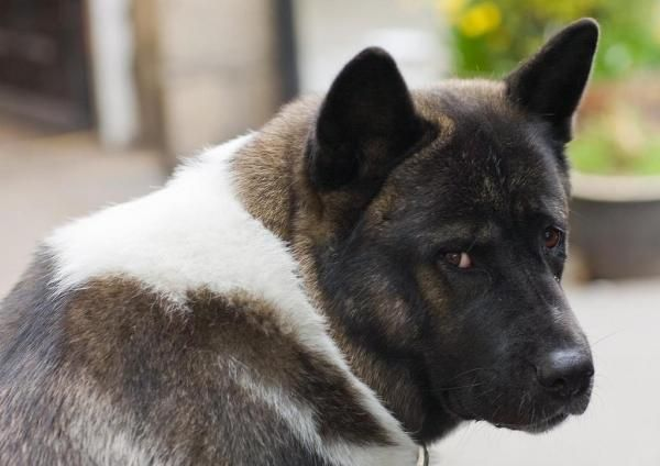How Much Food Should An American Akita Eat The American Akita Is One Of The Most Loyal Breeds In Existence T American Akita Dog American Akita Akita Puppies