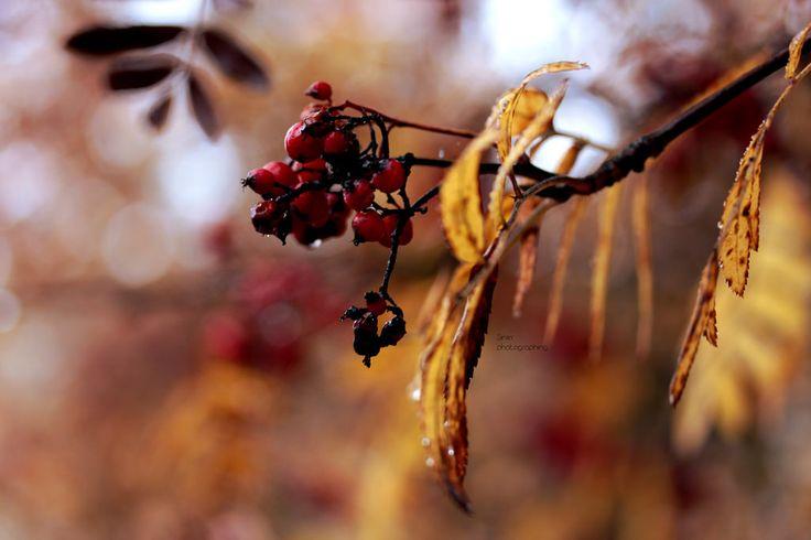 Red berries | by Siniirr