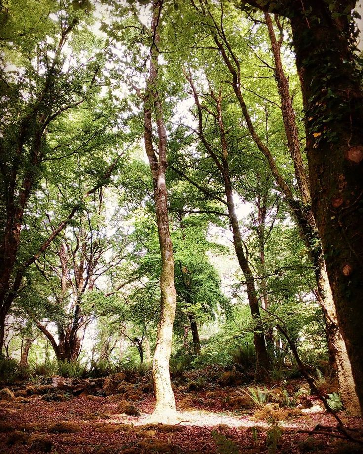 Just this tree was illuminated by sunshine ... Looked magical!  . . . . . . #instatree #tree #forest #clearing #natureisart #poolsoflight #ilovetrees #forestadventure #discoverireland #exploreireland  #natureisbeautiful #craggaunowen #forests #irishsummer #woodlands #clearyourmind #historicalplace #magic #magical #faeries #sunlight #clare #coclare #Ireland