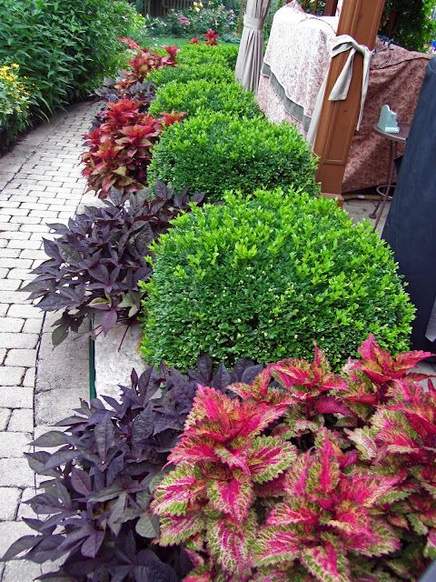 I love this combination of the green velvet boxwood, coleus, & what I think is purple shield. Good contrast of colors.: Gardens Ideas, Colors Combos, Front Yard, Sweet Potatoes Vines, Velvet Boxwood, Landscape Ideas, Foundation Plants, Gatsby Gardens, Green Velvet