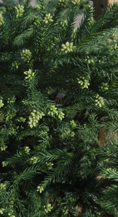Falcata Japanese Cedar (Cryptomeria) Make sure to specify shrub variety that does not grow over 10 feet
