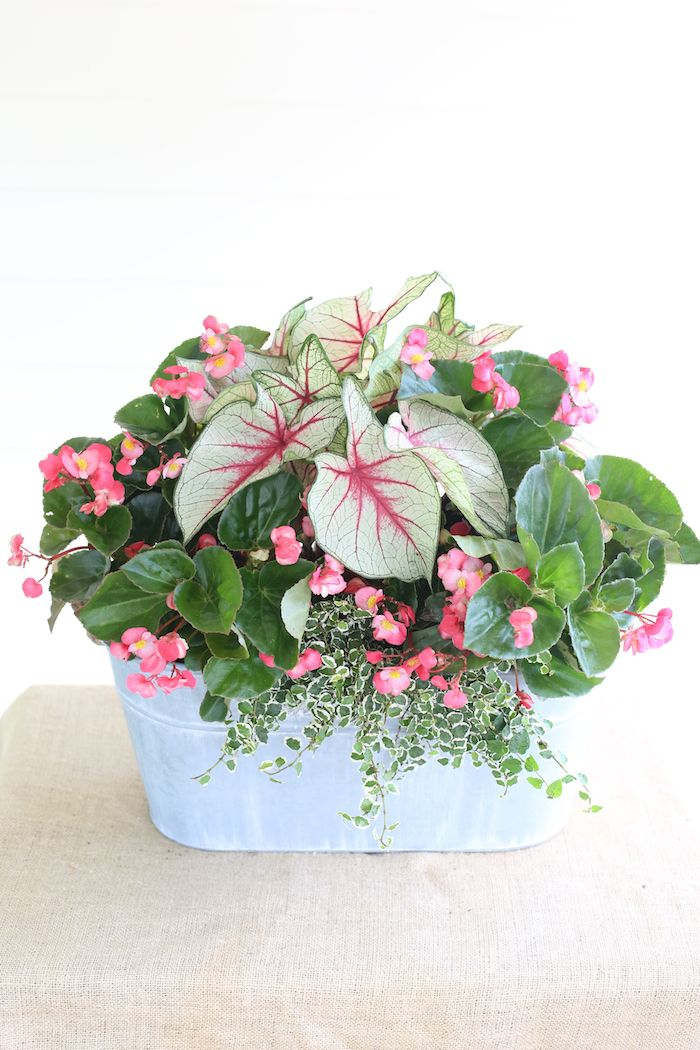 Shade-loving mix container planting | White Queen Caladiums, Whopper Begonia, Variegated Creeping Fig.