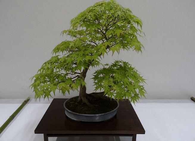 Entretien Bonsai Erable (Arrosage, taille, engrais...) Mes conseils et astuces sur http://www.maitre-bonsai.fr/espece/bonsai-erable/