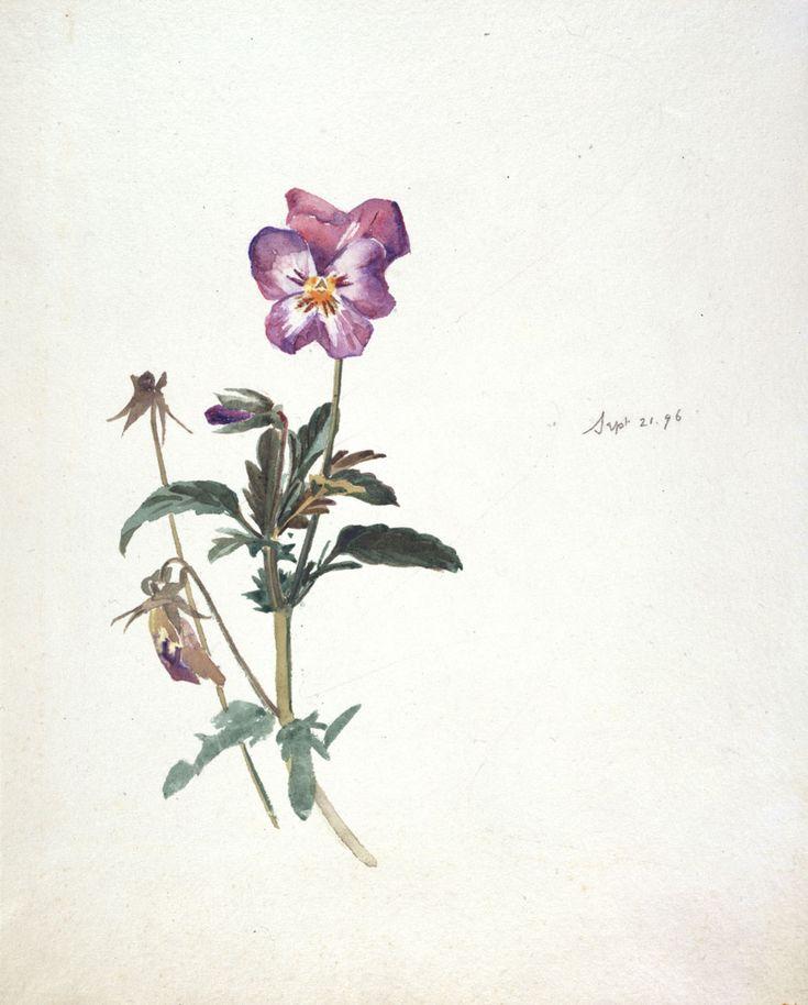 Beatrix Potter Botanical Drawings   Beatrix Potter, Pansy, 21 September 1896. © Frederick Warne & Co