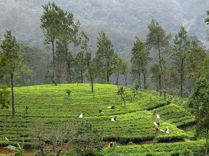 Ceylon - Tee mit großer Tradition