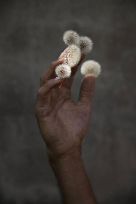 elspeth diederix.: Amazing Photography, Dandelions Lights, Character Inspiration, Hands, Elspeth Diederix, Photography Art, Dandelions Nails, Sweet Nothings, Flowers Types