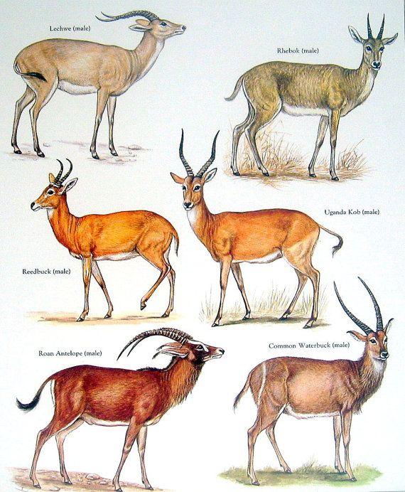 Bóvidos - Lechwe, Rhebok, Redunca, Hippotragus equinus, Kobus ellipsiprymnus común - Vintage de los años ochenta libro página placa