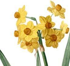 Beautiful Botanical Daffodils Image!   The Graphics Fairy   Bloglovin'