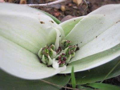 Colchicum capense contains the alkaloid colchicine which is used pharmaceutically to treat gout and Familial Mediterranean fever. Used medicinally by the Southern Sothos as ointment for the sore ears.