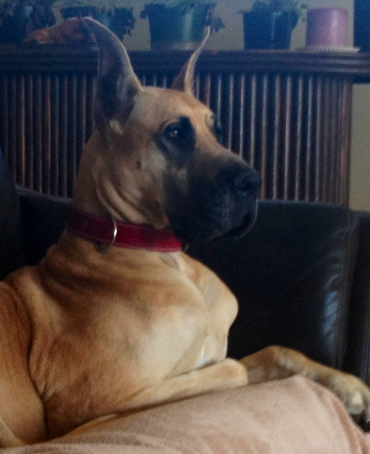 17 Best images about My greatest Dane! on Pinterest ...