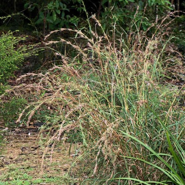 Cymbopogon refractus (Barbed Wire Grass)