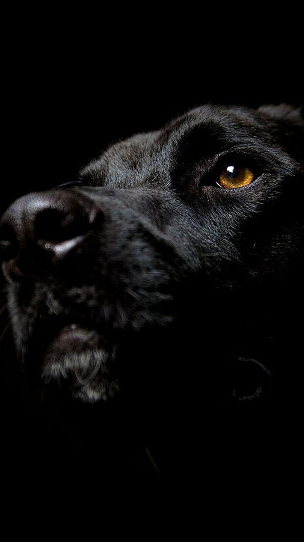 Pitbull Wallpapers 3d Iphone Dog Labrador Black Wallpaper Iphone