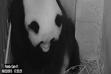 National Zoo's giant panda Mei Xiang gives birth to two cubs hours apart