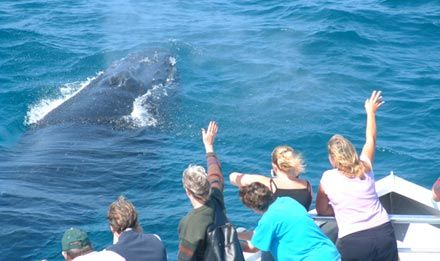 Look on in awe as these gentle giants relax in your company, breach and play all within metres. Book a whale watching cruise in Brisbane's Moreton Bay.