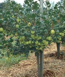 Growing Poorman Gooseberry -  Plant Manuals - Stark Bro's