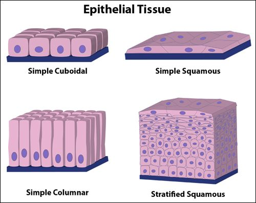 """Epithelial tissue is composed of tightly connected cells arranged in one or more layers. Epithelial tissues covers the whole surface of the body (it's your skin!) as well as lining all cavities and forming glands. Epithelial tissues as many functions including protection, sensation, diffusion, secretion, absorption and excretion.""  http://www.hartnell.edu/tutorials/biology/tissues.html"