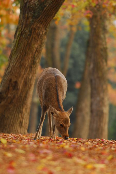 SEASONAL – AUTUMN – october has many benefits, and an abundance of deer to watch is just one of them.