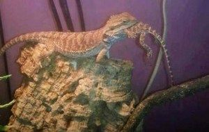 276 Best Images About Bearded Dragons On Pinterest