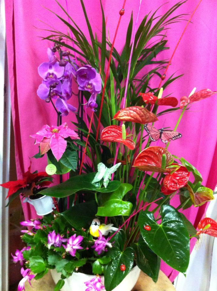 Composition de plantes jardin d 39 int rieur orchid e anthurium schlumbergera mini poinsettia - Arrosage orchidee d interieur ...