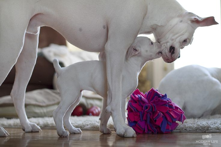 White Boxer Love
