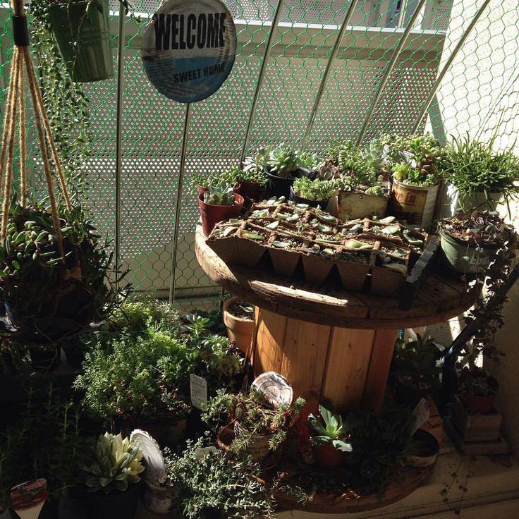 ☺︎*2015/7/26 ☀︎ やったっ♡♡♡‼︎‼︎‼︎ #ラティス 取ったら、取ったら… #陽当たり ようなった〜(;´༎ຶٹ༎ຶ`)!!!‼︎ めっちゃ嬉しい♡♡ ☺︎* #多肉植物 #sucuulent #succulents #green #gardening #ベランダ #大阪タニラー #多肉中毒 #電線ドラム #ノンフィルター #昨日汗だくなりながらラティス外す #1人は無理やから息子にバイト代1000円渡して手伝わせる #ニコニコ言う事聞く #いつもそんなんやったらええのに #亀甲網結束バンドで固定する #夜中今日の陽当たりどんなんか気になって何回も起きた #まるで遠足前の子供 #でも簡単に外から外せそう #また入られへんか気になる #気になるけど多肉の方が大事 #お母さんありがとうって多肉の声が聞こえる #えっ空耳? #いいのいいの自己満足 #朝起きて何回見に行ったか #これからはベランダ出るのも日焼け止め塗らなあかん #でも嬉しい #今日から新多肉生活スタート