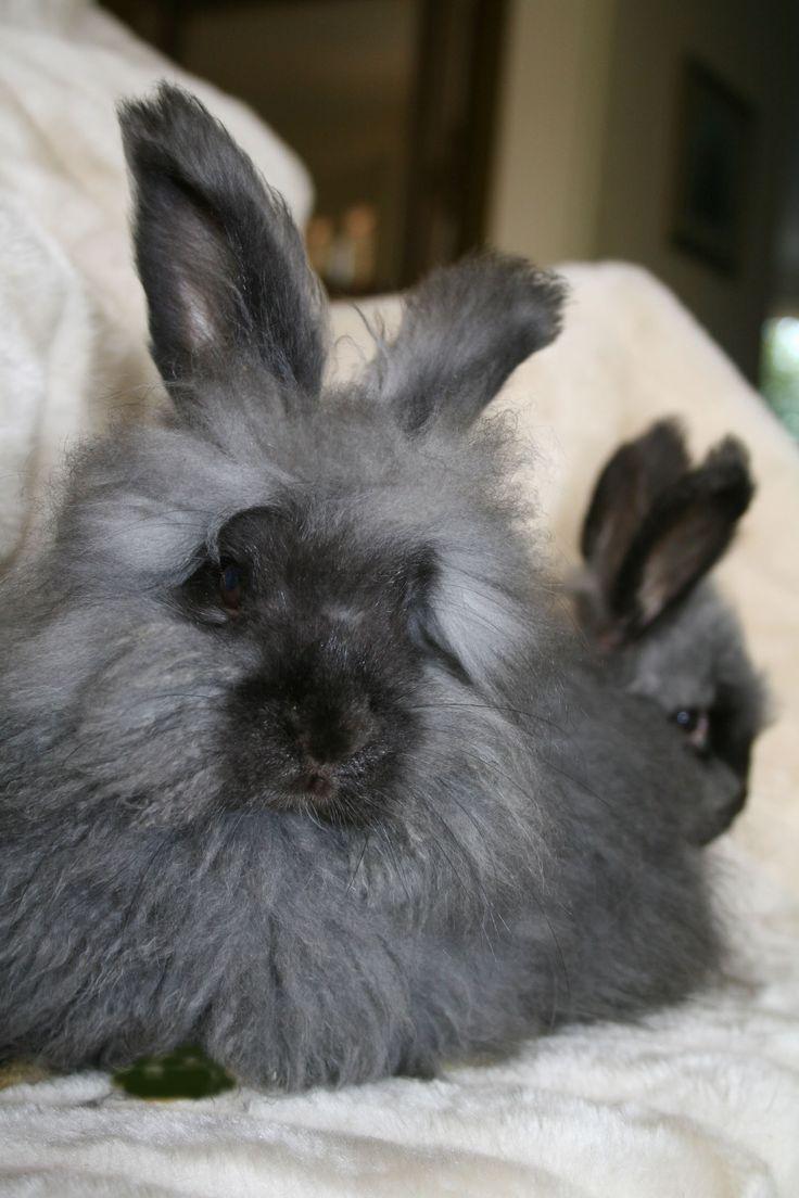 english angora rabbits - photo #31