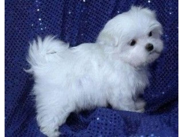 Gorgeous Teacup Maltese Puppies 1 Male And 1 Female Akc