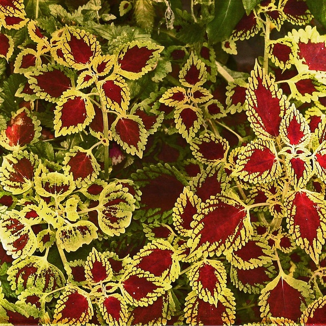 Love Coleus - always have some growing as house plants until the summer, then out on the balcony they go.