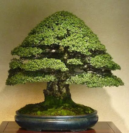 🚶🏾♀️👬Bonsai 💃More Pins Like This At FOSTERGINGER @ Pinterest 🏃🏾💃🕺🏿🏃🏽♀️