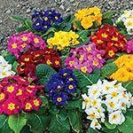 Buy Shade Perennials At Spring Hill Nursery