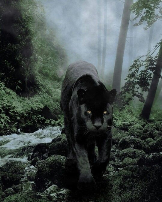 This is almost identical to the Black Panther I saw in Big Sur. Amazing.