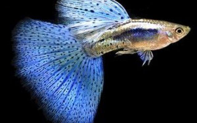 I Poecilia reticulata: Ospiti di ogni acquario I Poecilia reticulata, noti anche come Guppy o Lesbites, sono piccoli pesci d'acqua dolce della famiglia Poeciliidae. I loro splendidi colori e la loro facilità d'allevamento li rende tra i pesci pi #guppy #poeciliareticulata #acquario