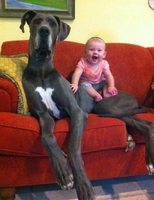 Perros gigantes que se creen perros falderos. ¡Demasiado adorables!