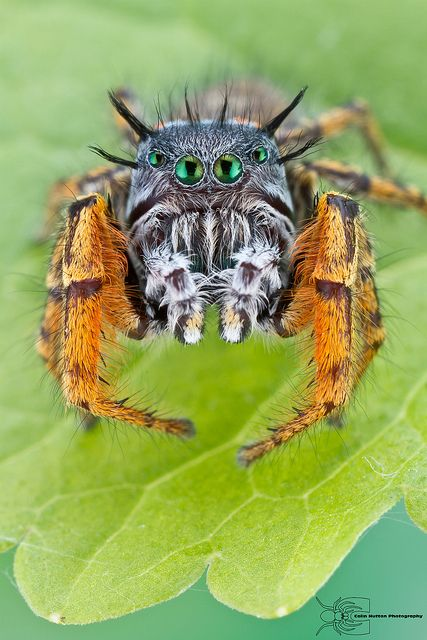 Jumping spider (Phidippus mystaceus) ~ By Colin Hutton