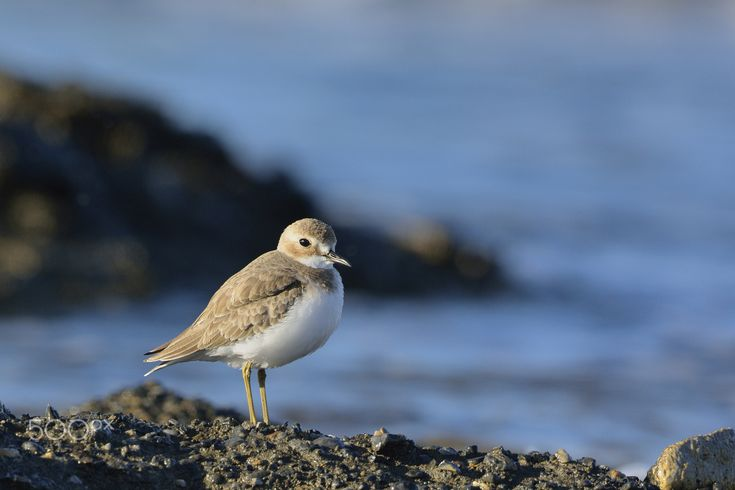 Greater Sandplover (Charadrius leschenaultii) - Thank you